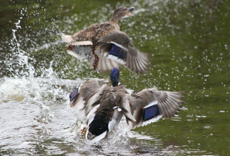 Patos Flaying fotografia de stock