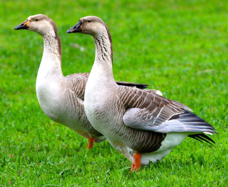 Patos gêmeos em um campo verde aberto fotografia de stock