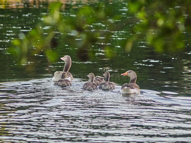 Patos jovenes que nadan en el lago fotografía de archivo