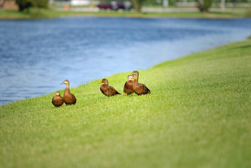 Patos Mottled imagens de stock royalty free