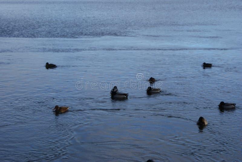 Patos na água fotos de stock