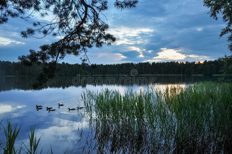 Patos na água do lago na noite Paisagem da natureza fotografia de stock royalty free