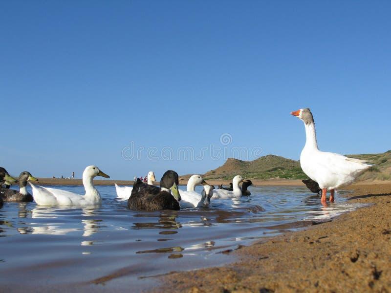 Patos na escola fotografia de stock royalty free