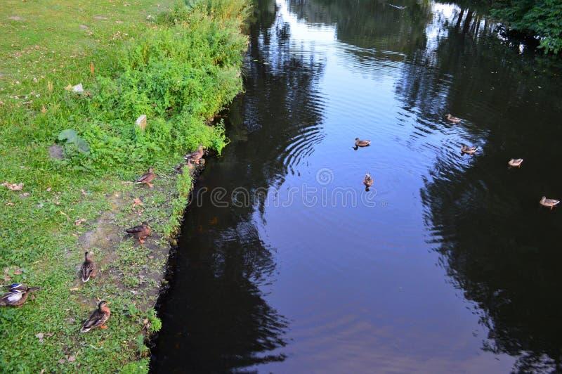 Patos na lagoa foto de stock royalty free
