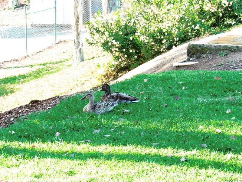 Patos na natureza fotografia de stock