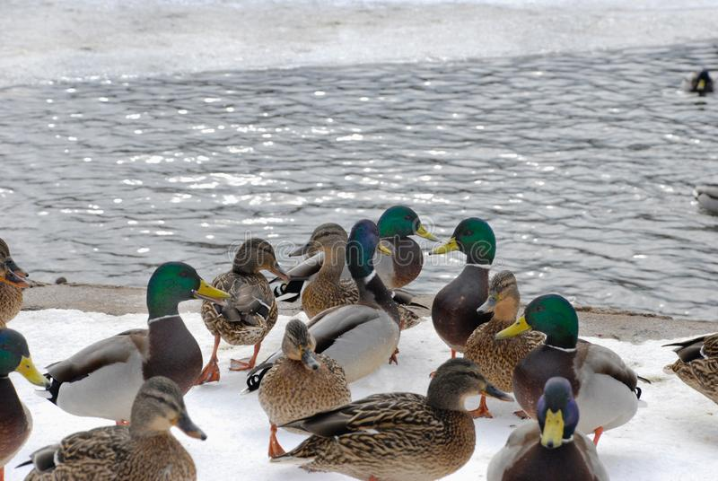 Patos na neve imagens de stock royalty free