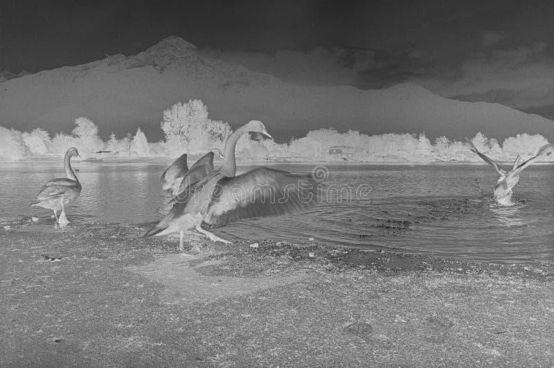 Patos negativos no lago de Como, quadro de filme, câmera análoga preto e branco fotografia de stock royalty free