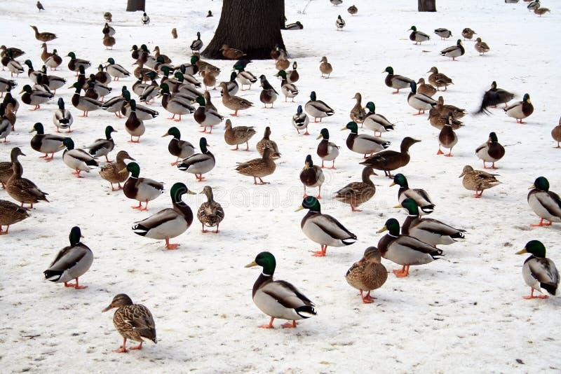 Patos no inverno imagem de stock royalty free