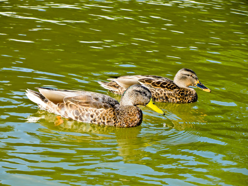 Patos no lago fotos de stock royalty free