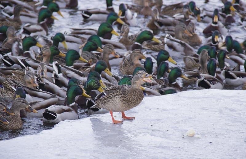 Patos no rio imagens de stock royalty free