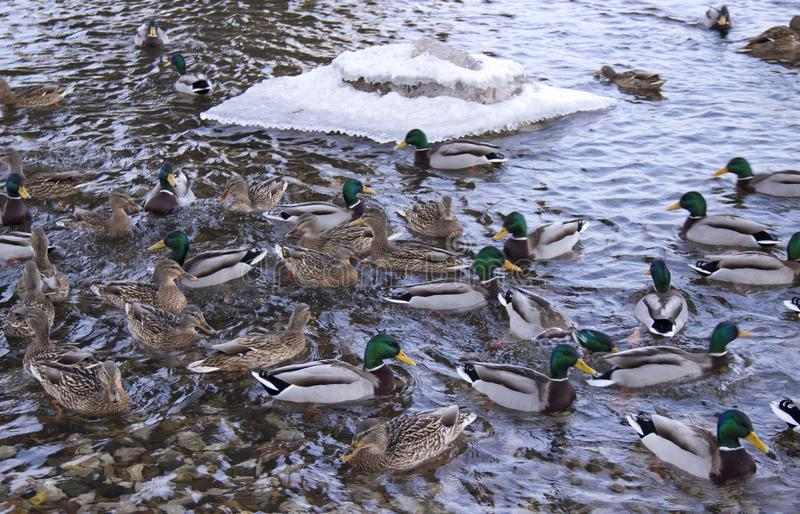 Patos no rio imagens de stock