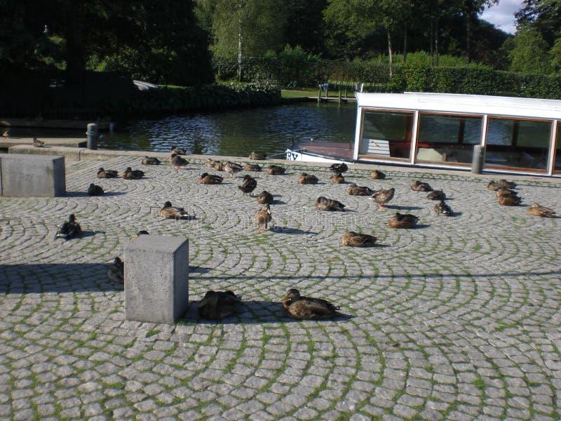 Patos no sol fotos de stock royalty free
