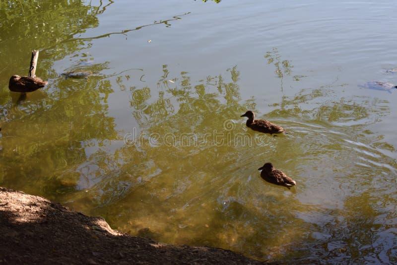 Patos no terceiro lago fotografia de stock
