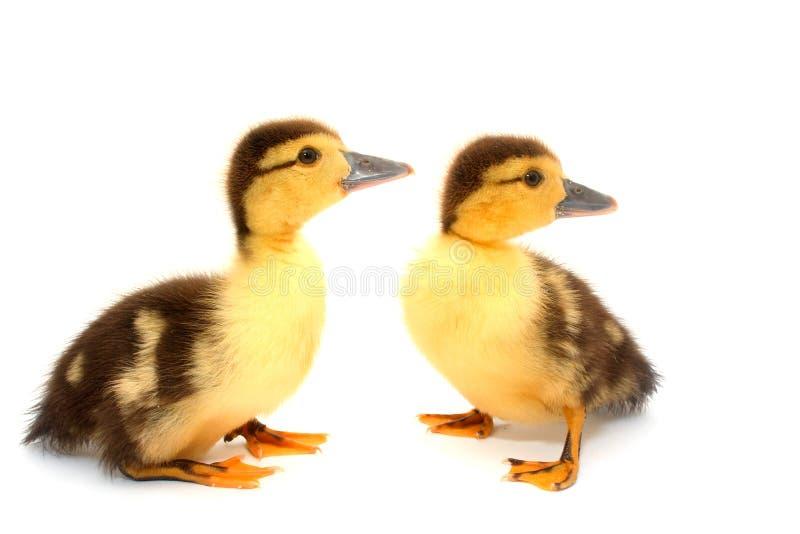 Patos olhar fixamente imagem de stock royalty free