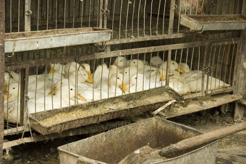 Patos para la venta foto de archivo libre de regalías