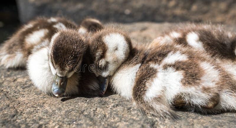 Patos pequenos do sono fotos de stock royalty free