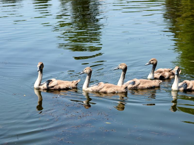 Patos pequenos que nadam no lago foto de stock royalty free