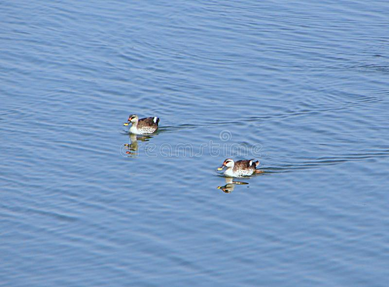 Patos Ponto-faturados no lago Randarda, Rajkot, Índia fotos de stock