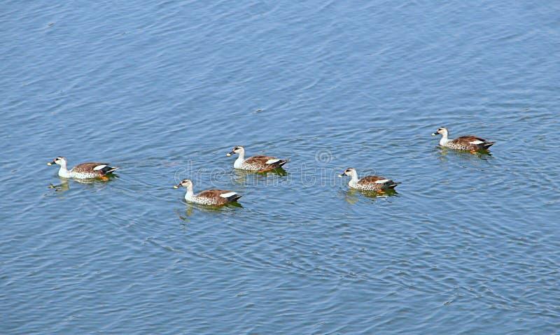 Patos Ponto-faturados no lago Randarda, Rajkot, Índia fotos de stock royalty free