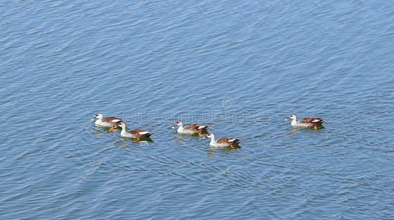Patos Ponto-faturados no lago Randarda, Rajkot, Índia foto de stock royalty free