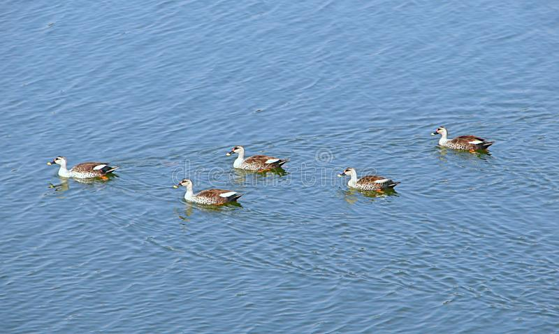 Patos Punto-cargados en cuenta en el lago Randarda, Rajkot, la India fotos de archivo libres de regalías
