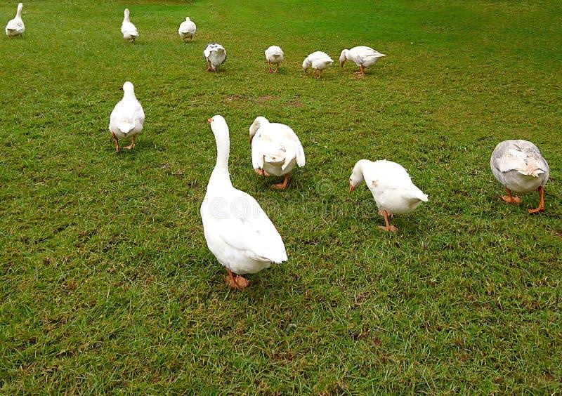 Patos que andam em um cru imagem de stock