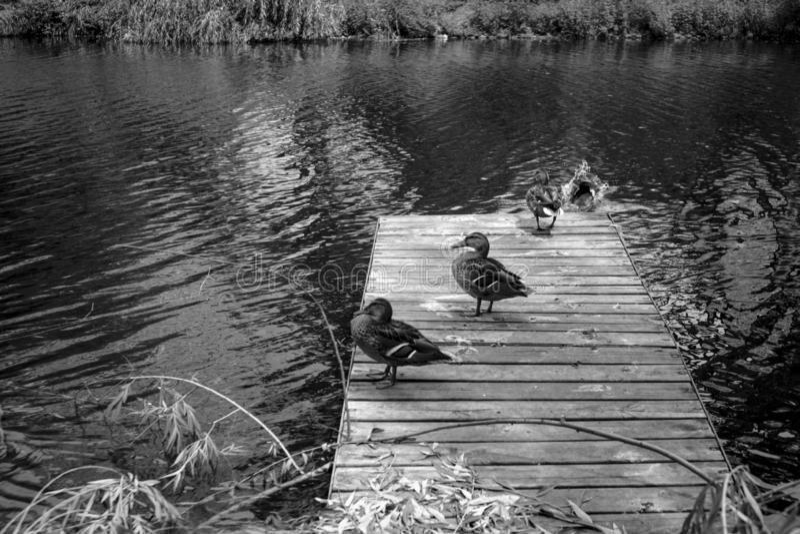 Patos que andam em uma doca de madeira fotos de stock royalty free