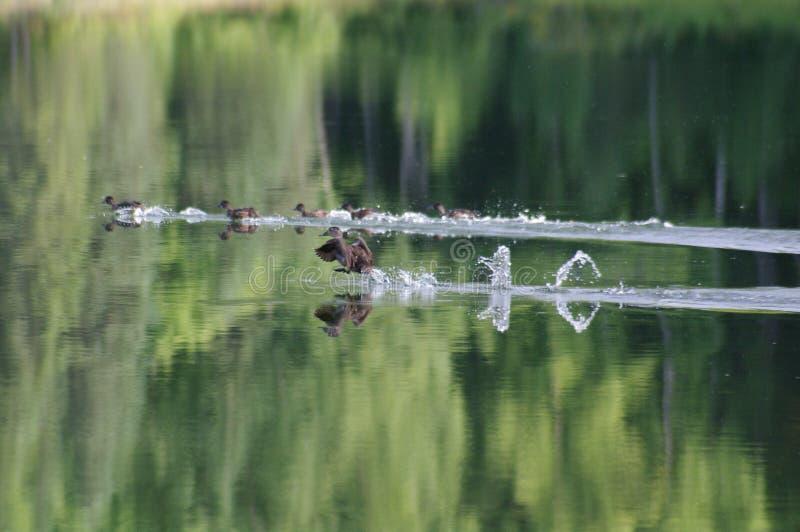 Patos que aterram na lagoa foto de stock royalty free