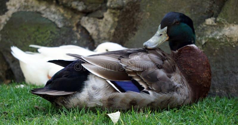 Patos que descansam em um jardim zoológico imagem de stock