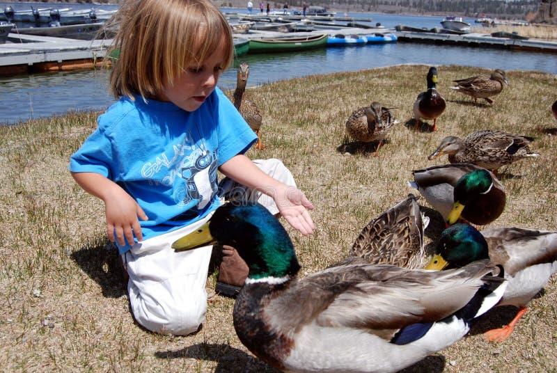 Patos que introducen del muchacho fotos de archivo