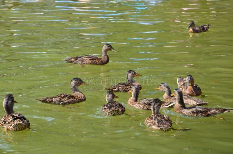 Patos que jogam na água - dia ensolarado em férias no Polônia imagem de stock royalty free