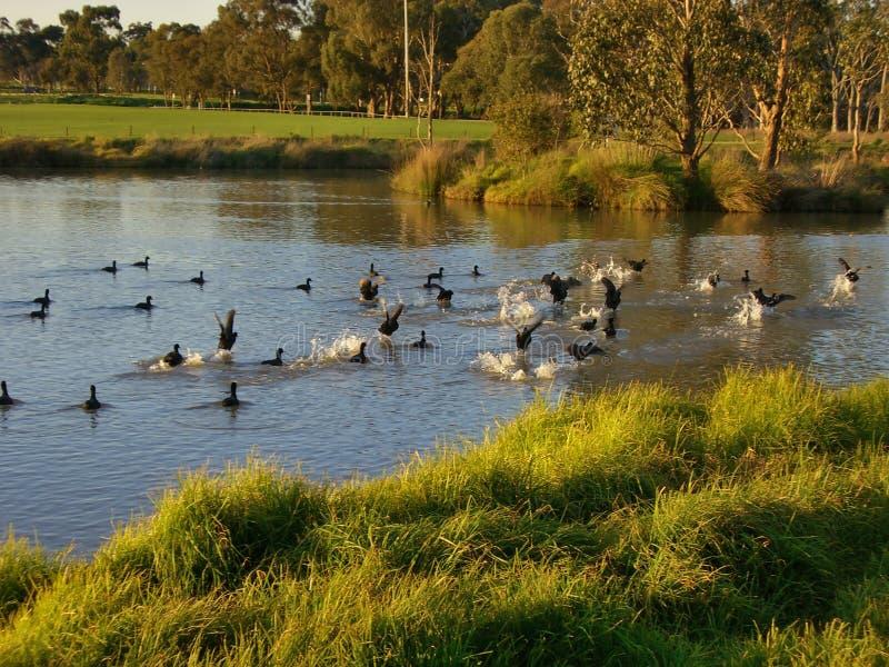 Patos que nadam em uma lagoa imagens de stock royalty free