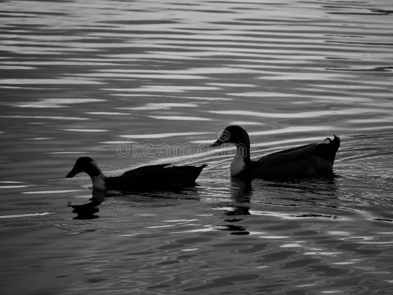 Patos que nadam no lago fotografia de stock royalty free