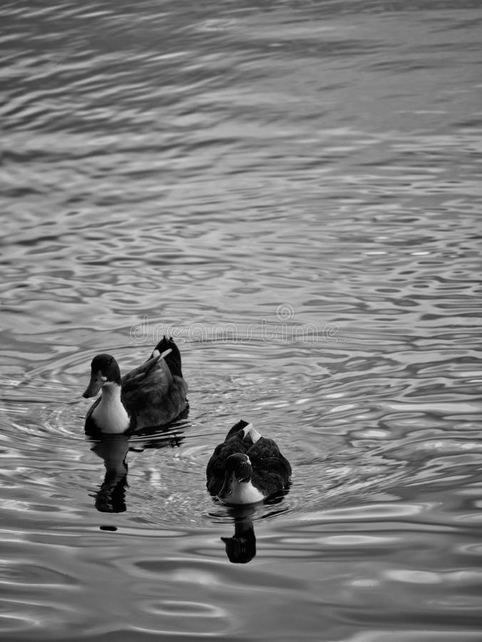Patos que nadam no lago fotografia de stock