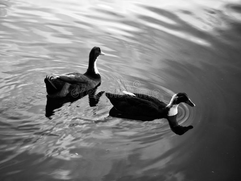 Patos que nadam no lago foto de stock royalty free
