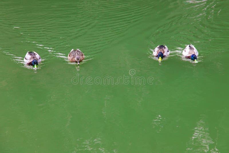 Patos que nadam no rio bonito fotos de stock royalty free