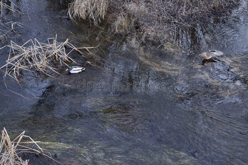 Patos que nadan en las aguas de un r?o imágenes de archivo libres de regalías