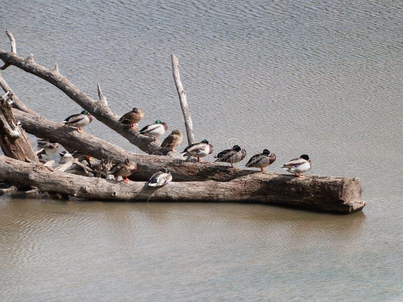 Patos que sentam-se na madeira lançada à costa fotos de stock royalty free