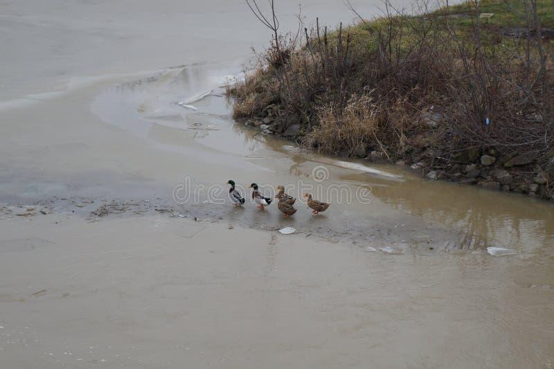 Patos que vão para uma caminhada em um dia frio fotos de stock