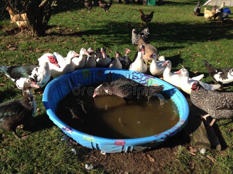 Patos recolhidos em torno da associação fotos de stock royalty free