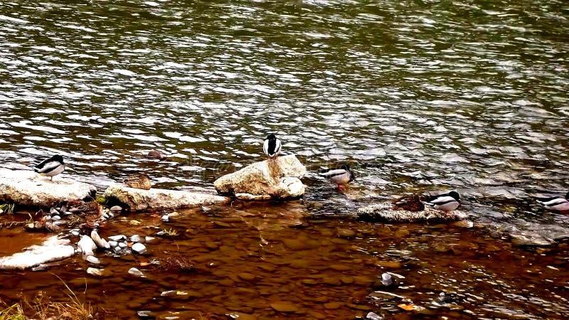 Patos salvajes en el río en Maglaj, Bosnia Herzegowina, fondo imágenes de archivo libres de regalías