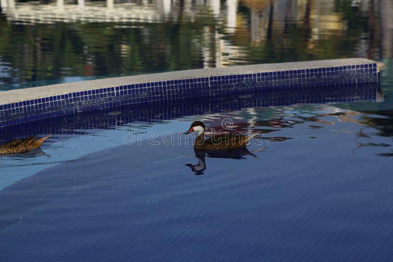 Patos salvajes en la piscina en la República Dominicana imagen de archivo libre de regalías
