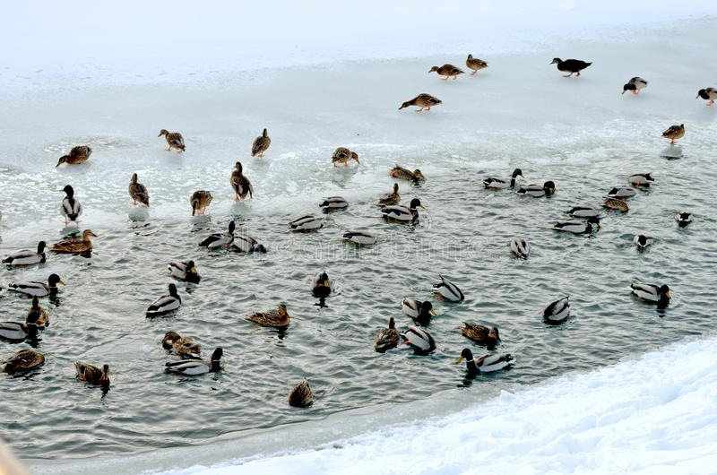 patos salvajes que nadan en el r?o fotos de archivo libres de regalías