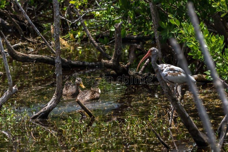 Patos sarapintados e íbis brancos juvenis, J n Ding Darling Nat imagem de stock royalty free