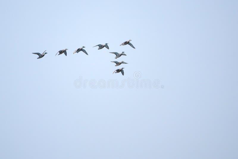 Patos selvagens do voo fotos de stock