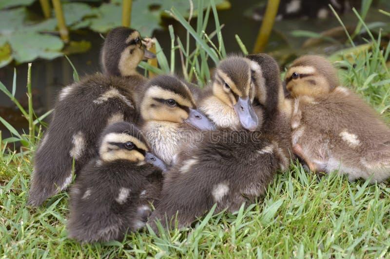 Patos selvagens dos patinhos que encontram-se na grama fotos de stock royalty free