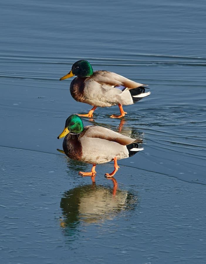 Patos selvagens masculinos em um rio fotos de stock
