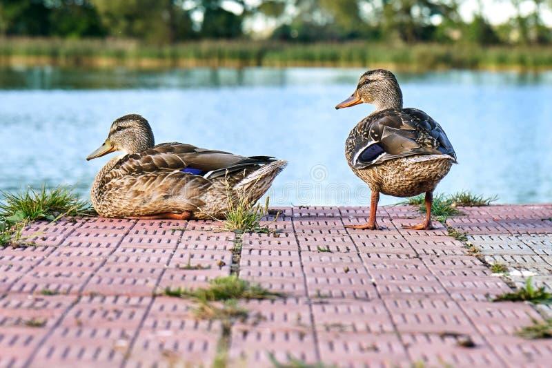 Patos selvagens no cais da lagoa na noite morna do verão imagens de stock