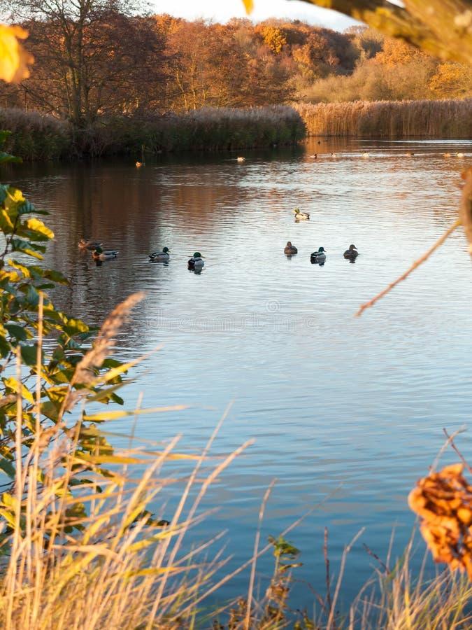 Patos selvagens no fundo du do outono do tempo frio da superfície da água azul imagens de stock royalty free