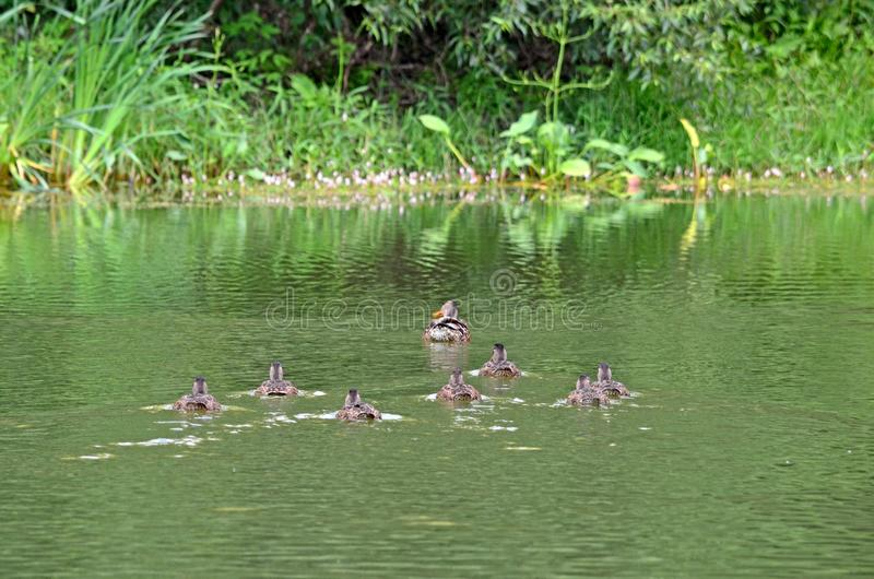 Patos selvagens no lago no habitat natural foto de stock royalty free